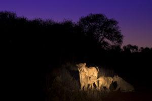 Heidi-Watson-lions-at-night