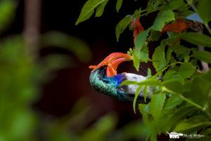 Heidi-Watson-sunbird-feeding