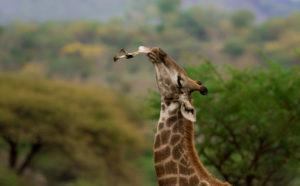 giraffe-moment-wildlife-photography