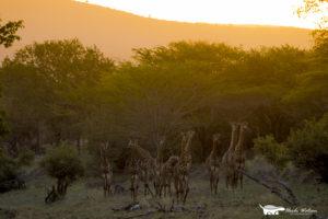 giraffe-herd-wildlife-photography