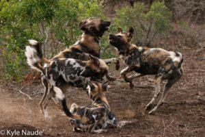 wild-dogs-play