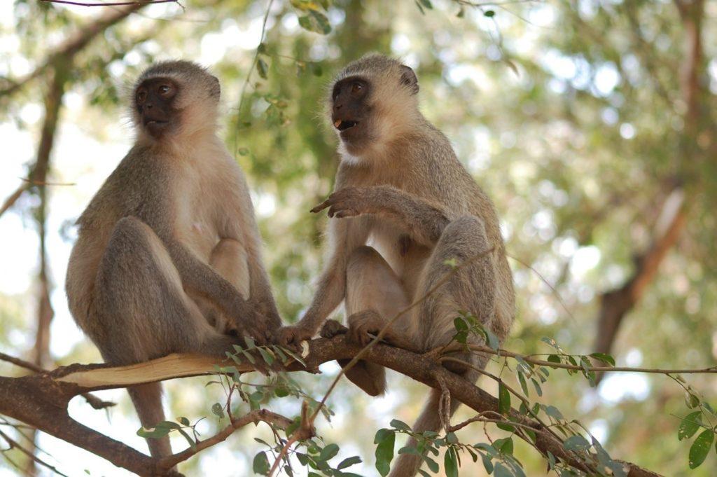 vervet monkey allogrooming