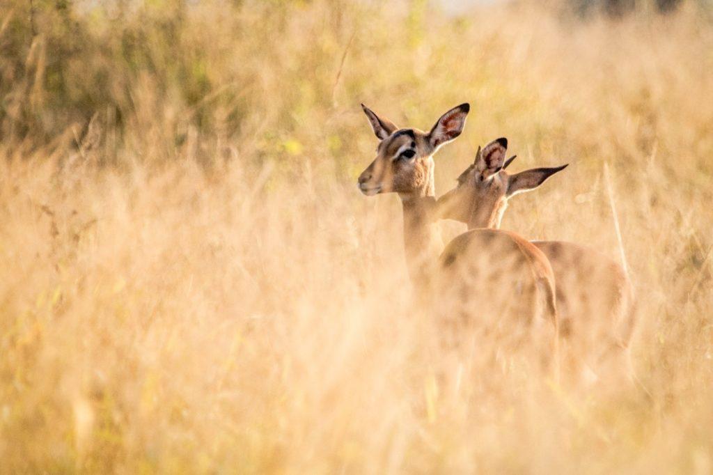 impala allogrooming behaivour