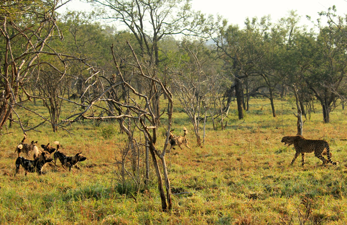 Outnumbered cheetahs outsmart wild dogs