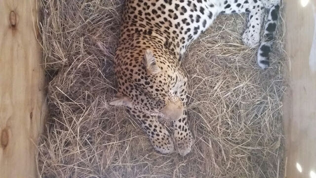 A leopard refuses to budge