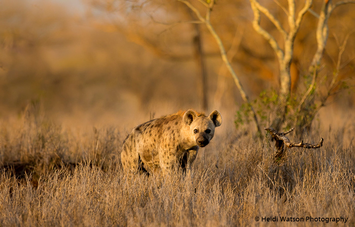 Spotted hyaena rescued from a poacher's snare