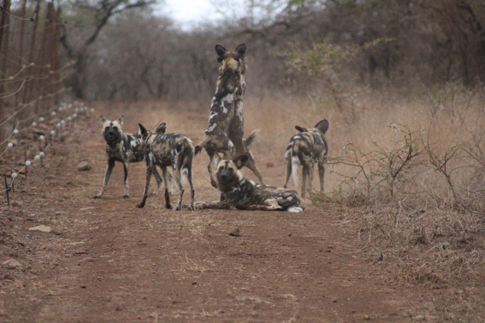 Meet the wild dogs at Rhino River Lodge