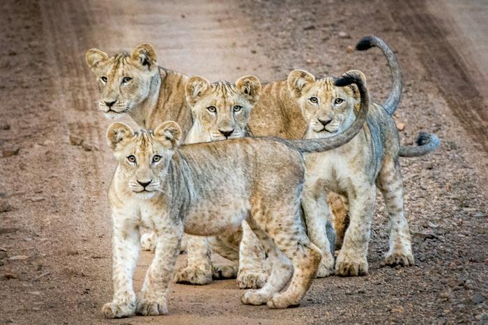 What's cuter than a lion cub? 5 lion cubs!