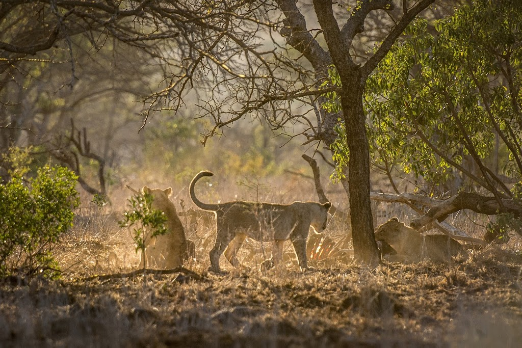 Lions abound at Rhino River Lodge
