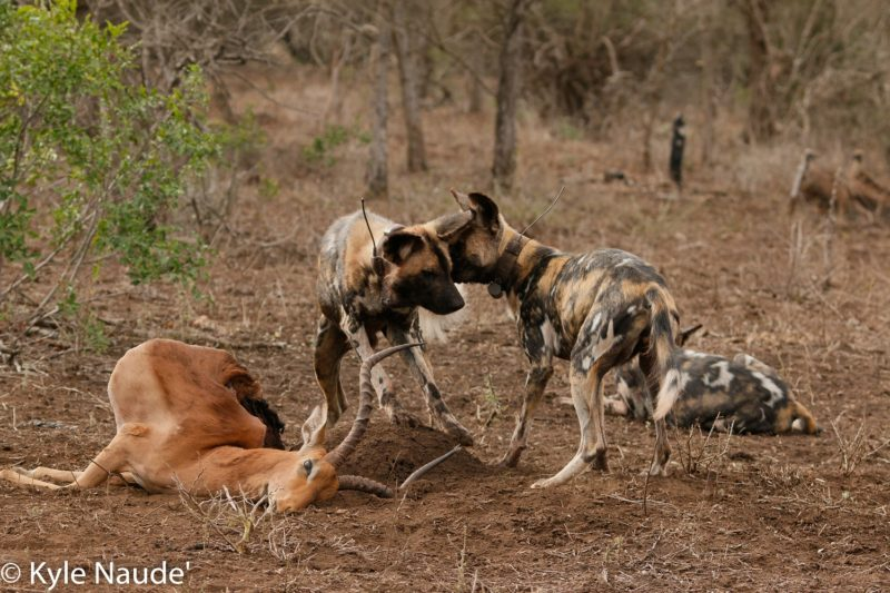Five Reasons to Love Wild Dogs